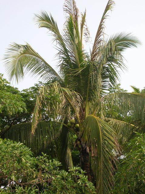 Кокосовая пальма, остров Хайнань