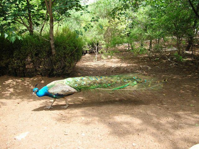 Павлин в парке птиц