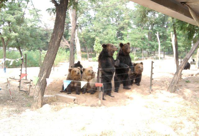 Медведи выпрашивают лакомства у туристов в поезде. Бэйдайхе