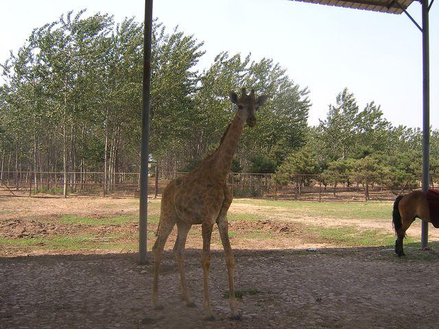 Жирафёнок. Бэйдайхе