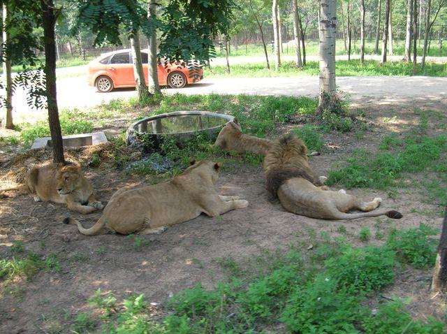 Вольер со львами. Бэйдайхе