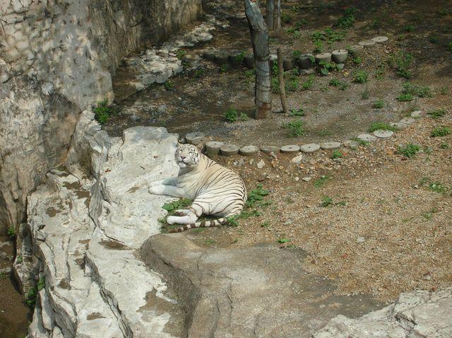Белый тигр. Даляньский зоопарк