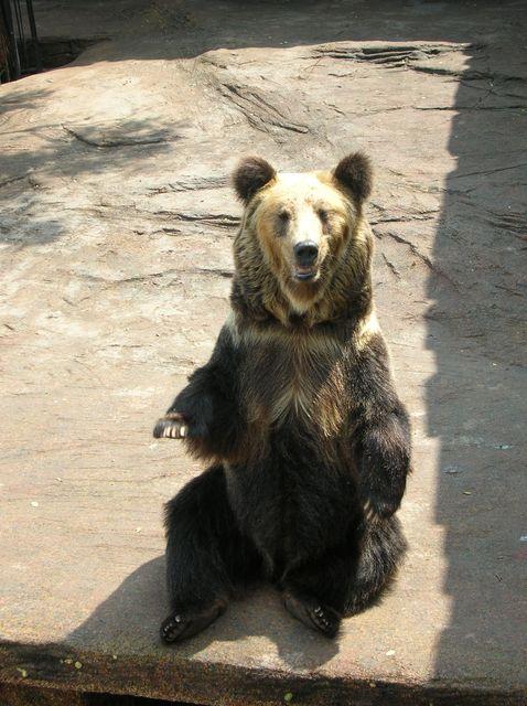 Бурый медведь. Лесной зоопарк Даляня