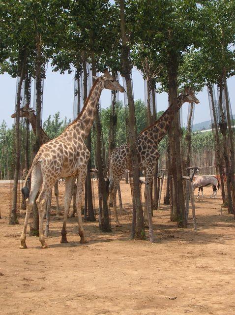 Жирафы. Зоопарк Дяляня