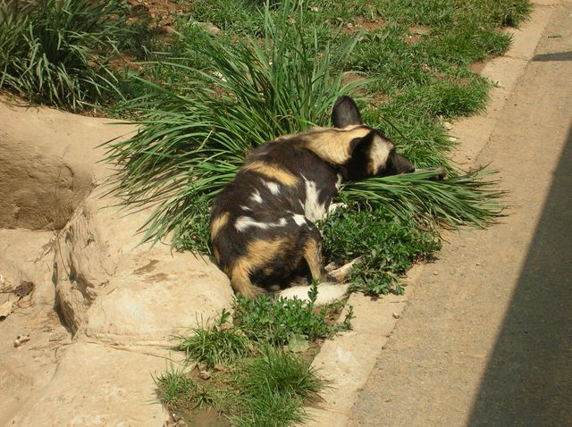 Гиеновидная собака. Зоопарк Дяляня