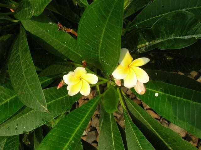 Тропические цветы на о.Хайнань
