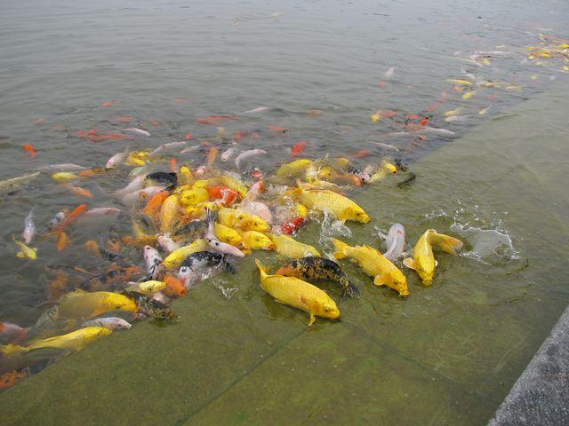Рыбки в пруду есть практически в каждом парке Китая