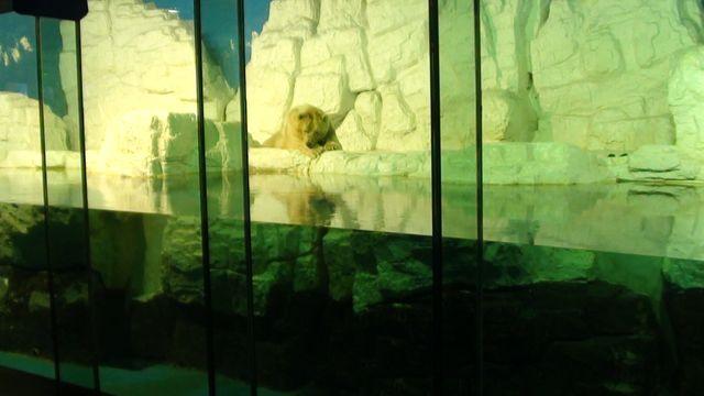 Белый медведь - один из жителей Полярного океанариума. Далянь