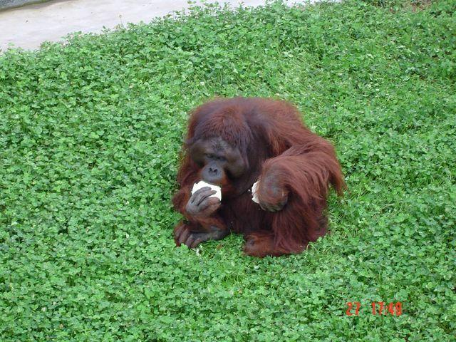 Орангутан. Вэйхай
