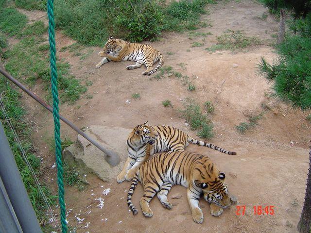 Тигры. Сафари-парк в Вэйхае