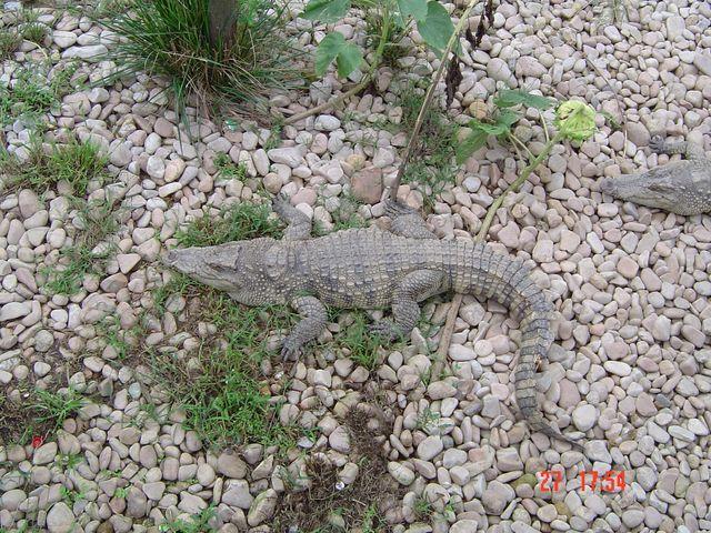 Крокодил. Вэйхай