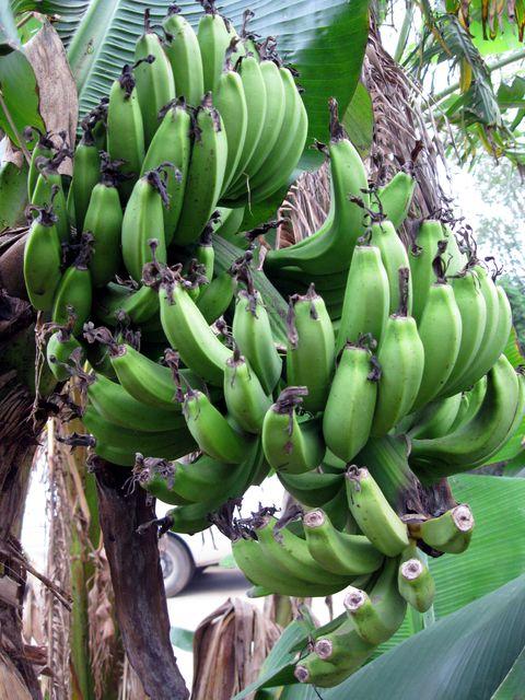 В городе Бэйхае можно увидеть грозди зеленых бананов