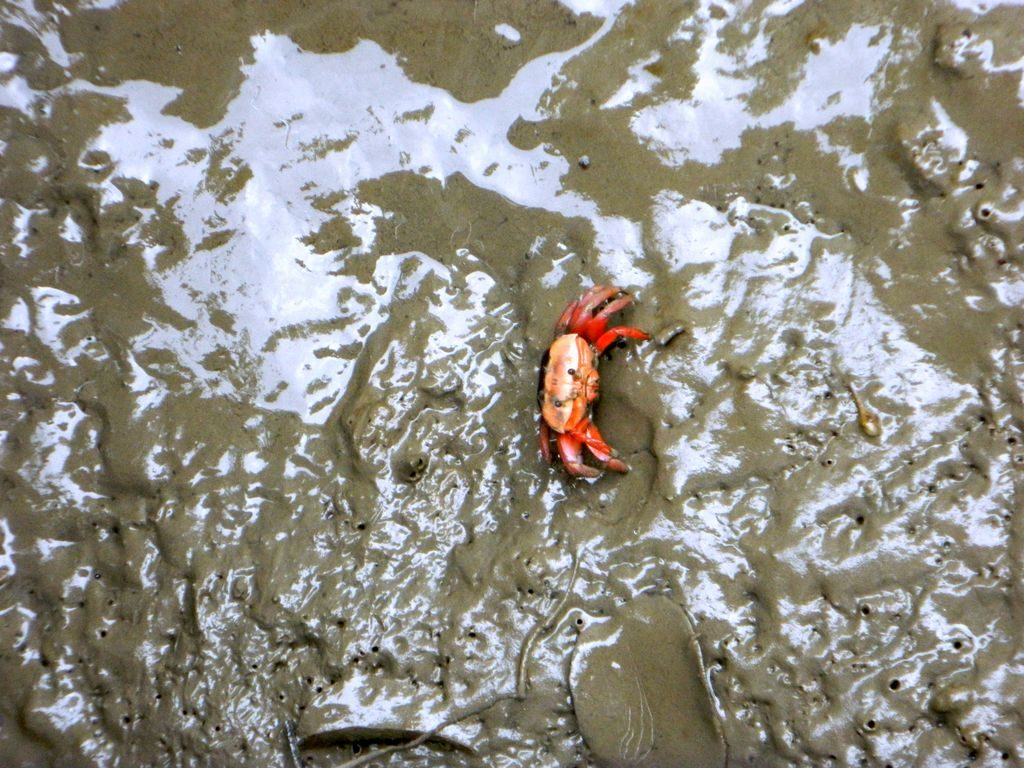 Крабики в парке водно-болотных угодий, Гонконг