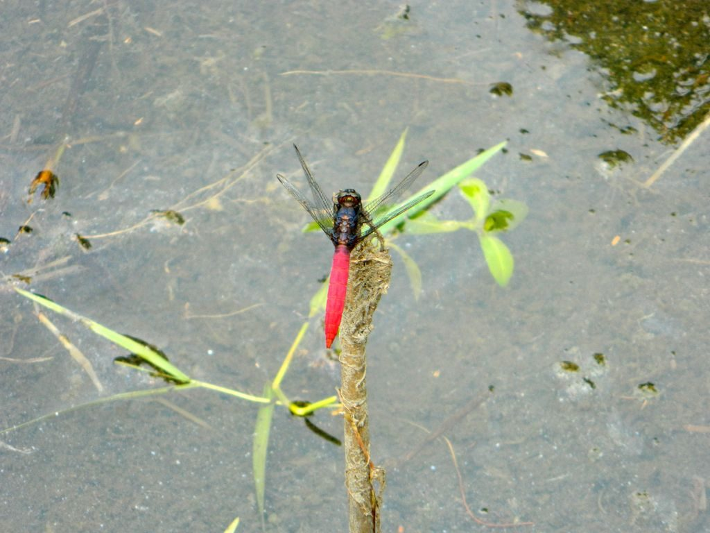Стрекоза. Парк водно-болотных угодий, Гонконг