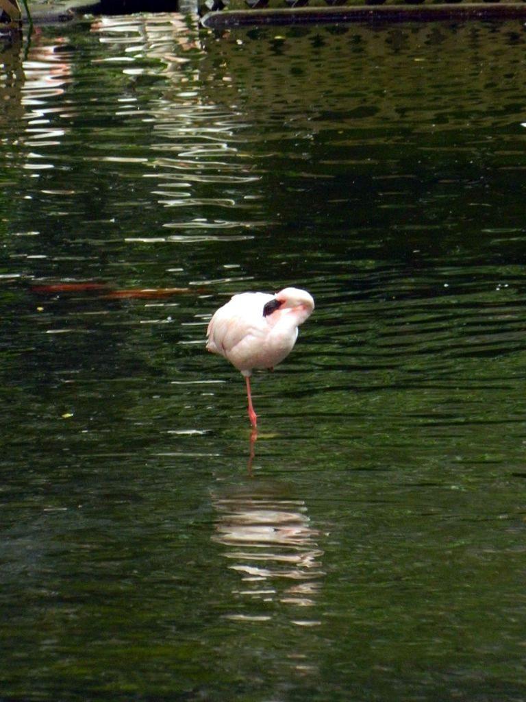 Фламинго в парке Гонконга