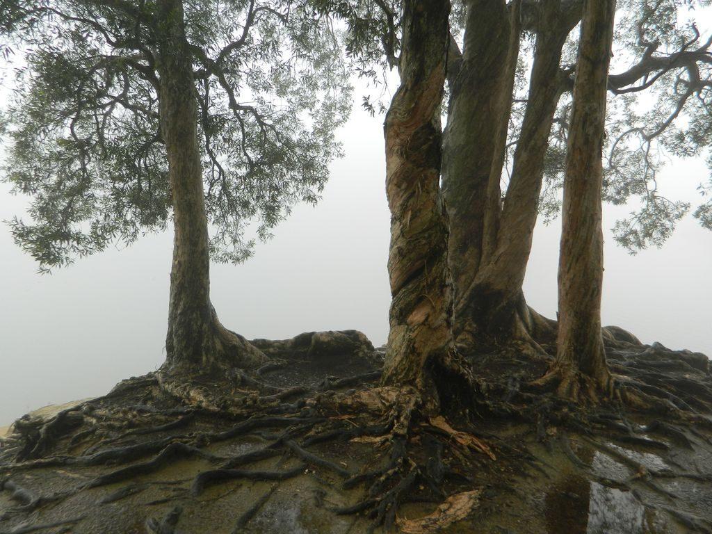 Необычные деревья в Shing Mun Country Park, Гонконг