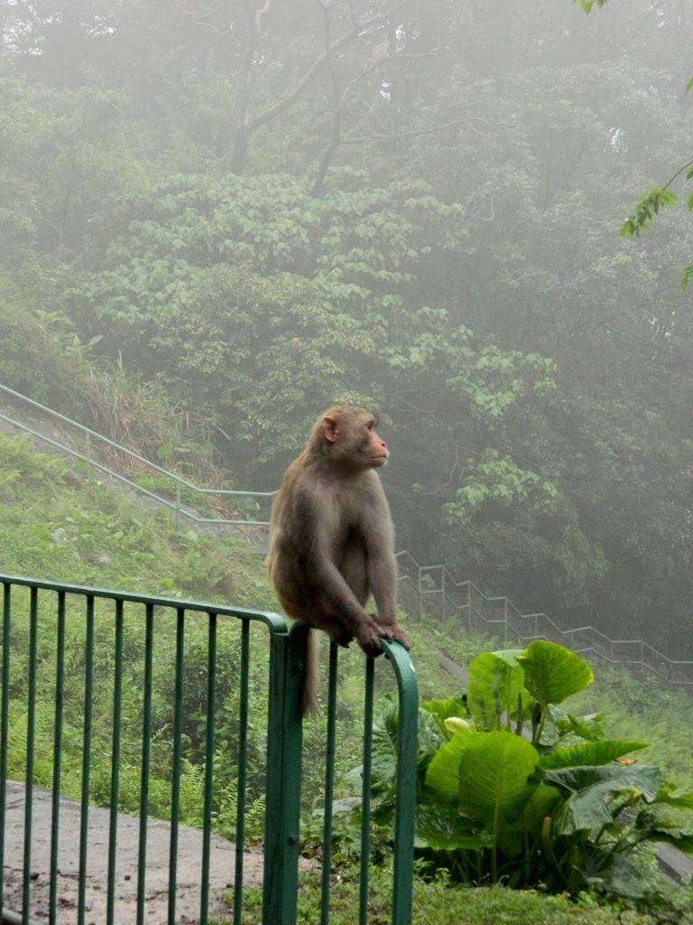 Обезьяны в Shing Mun Country Park, Гонконг
