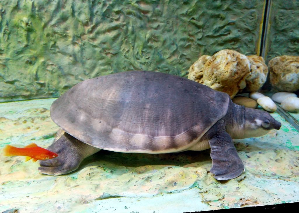 черепаха Гонконг