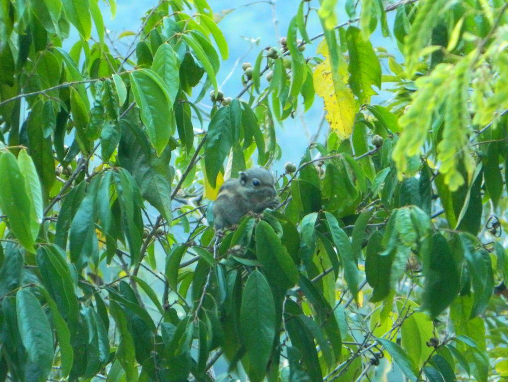 Грызун на дереве в парке Феникс, Санья