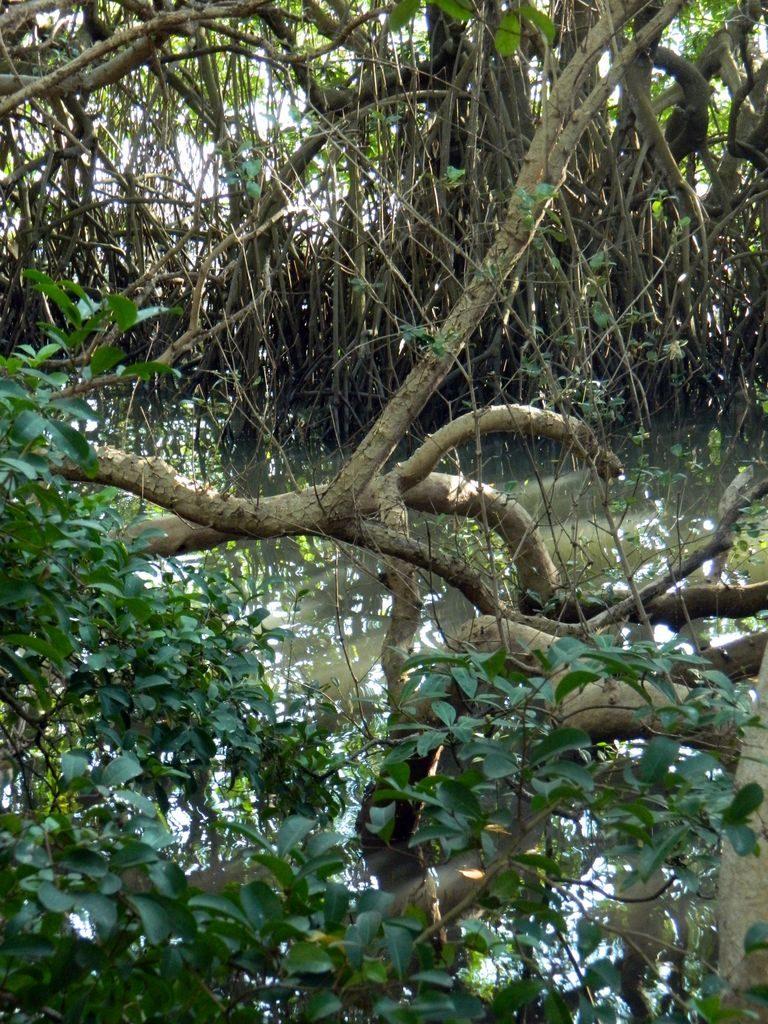 Мангры в Байлу парке, Санья
