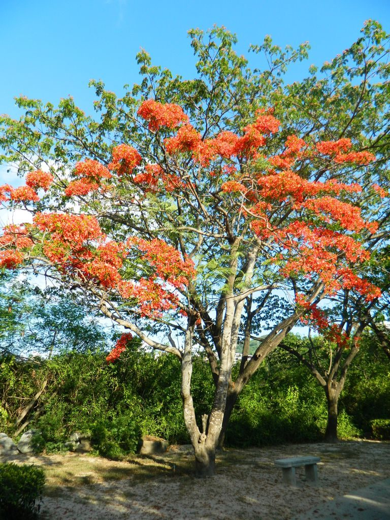 Цветущие деревья в Bailu Park, город Санья