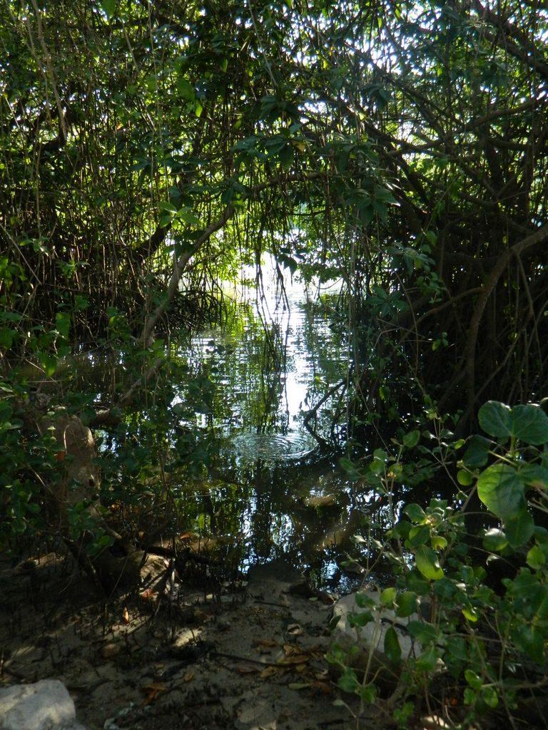 Мангровые заросли в парке Байлу, Санья