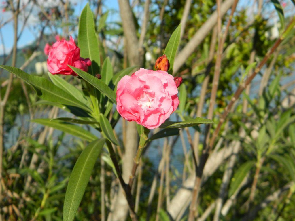 Цветы в Bailu Park, город Санья