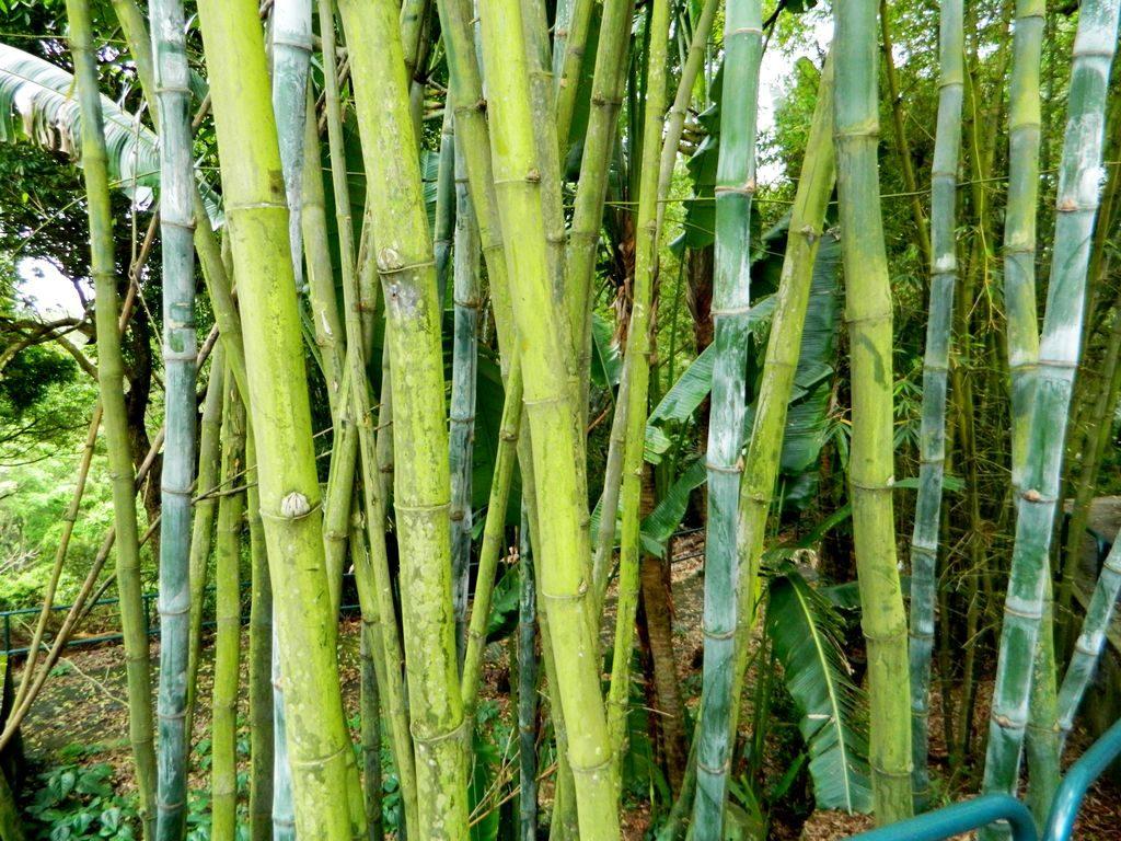 Бамбук, остров Ченг Чау