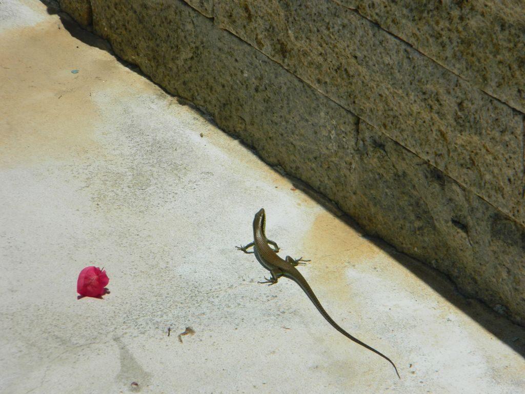 Ящерица в парке, Санья