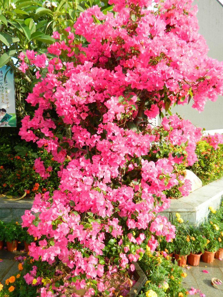 Цветы на Хайнане в мае