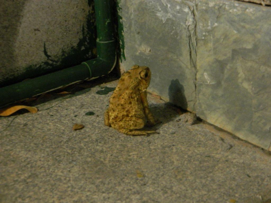 Лягушка возле отеля, Хайнань