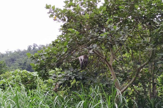 Обезьяны на деревьях, Тайвань