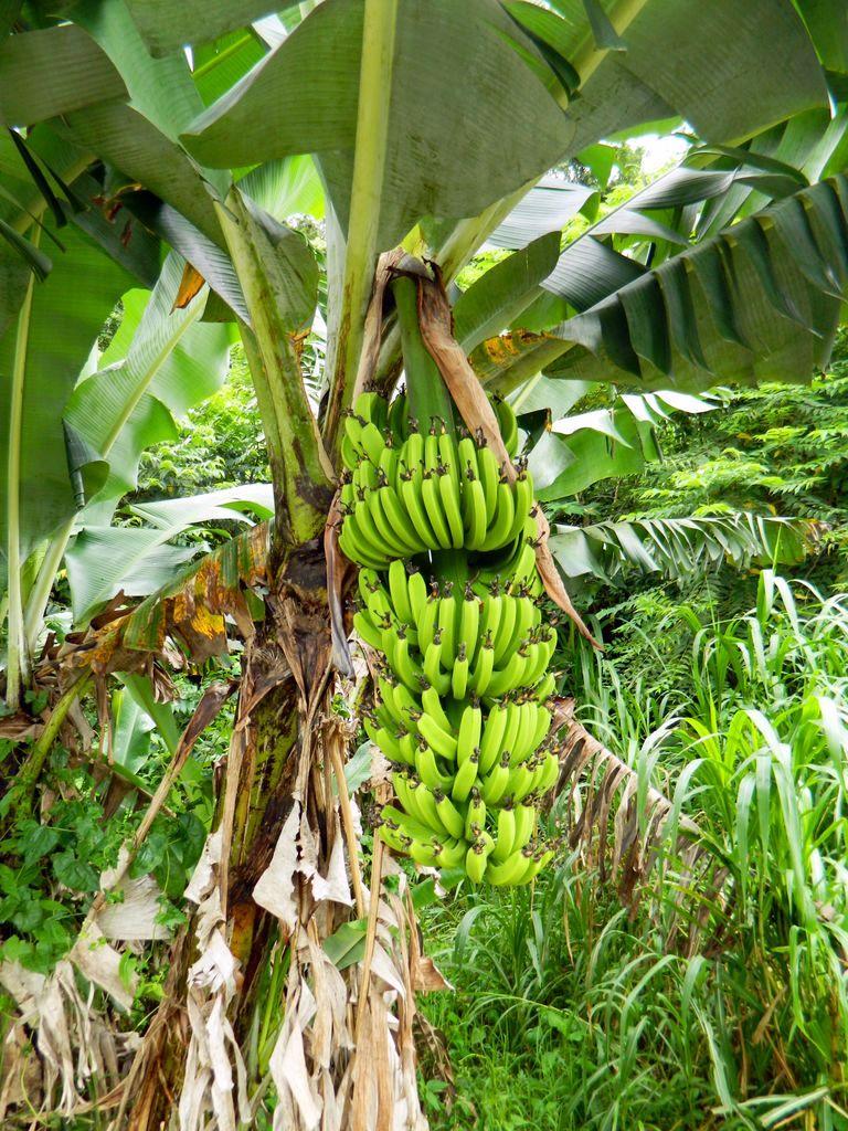 Бананы в национальном парке Тароко