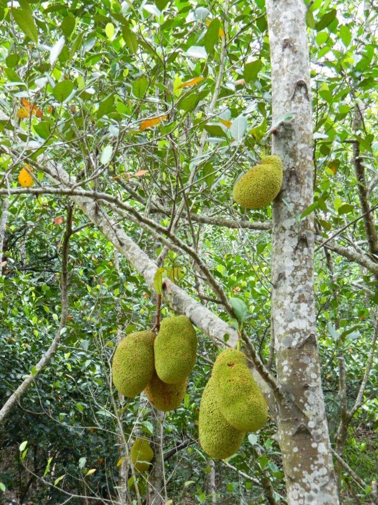Джекфруты на дереве, Тайвань