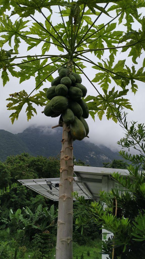 Папайя на дереве, Тайвань