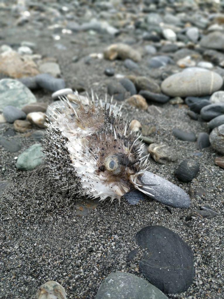 Колючая рыба на пляже Тайваня