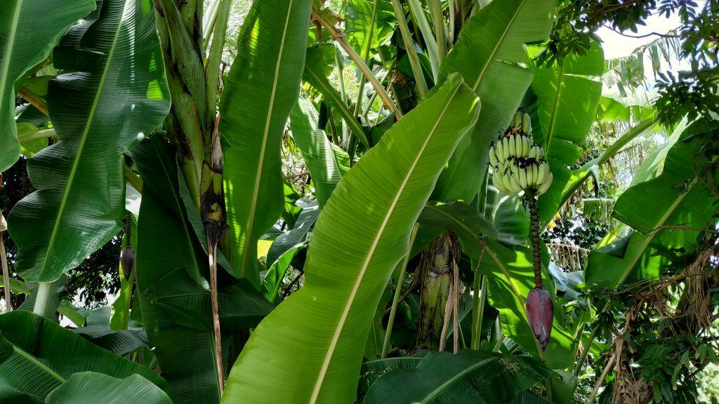 Небольшая банановая роща на пути к ущелью Тароко, Тайвань